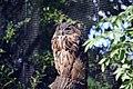 Hibou grand-duc (Zoo-Amiens).JPG