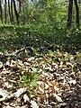 Hierochloe australis sl46.jpg