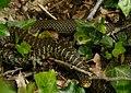 Hierophis viridiflavus junge Zornnatter Perigord 2008.jpg