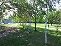 Higashiyama-park path-of-white-birch.JPG