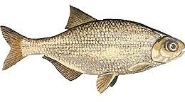 Hiodon tergisus NOAA