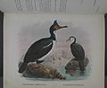 History of the birds of NZ 1st ed p330-2.jpg