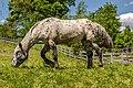 Hohenthurn Göriach Koppel Pferd 16052017 8540.jpg