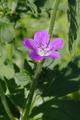 Hoher Vogelsberg Schotten SCI 555520798 Geranium sylvaticum det.png