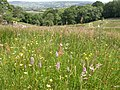 Horn Park, orchids - geograph.org.uk - 1369728.jpg