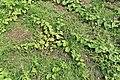 Horngurke - Kiwano - Cucumis metuliferus im Garten, flach 02 ies.jpg