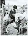 Horohoro Maori Training Farm, Tagging Sheep (1966).jpg