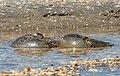 Horseshoe crabs mating on Sandy Hook (70060).jpg