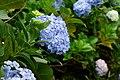 Hortensia (Hydrangea macrophylla) (14228866969).jpg
