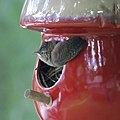 House Wrens Fledging (4880010201).jpg