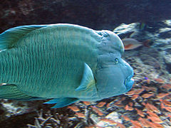 Humphead Wrasse - Churaumi aquarium, Okinawa, Japan.jpg