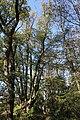 Hvozdecká lípa 3.jpg