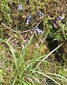 Hyacinthoides non-scripta-pjt.jpg