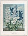 "Hyacinths, from ""The Temple of Flora, or Garden of Nature"" MET DP861133.jpg"