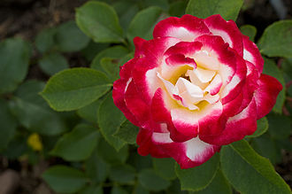 Hybrid tea rose - 'Double Delight' hybrid tea