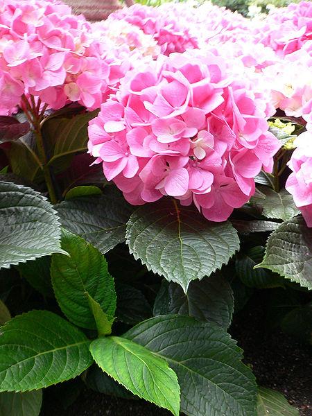 bractés et fleurs de l'hortensia rose