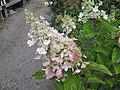 Hydrangea paniculata 'Vanille Fraise' (6164473702).jpg