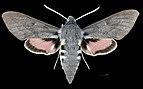 Hyles vespertilio MHNT CUT 2010 0 228 male Pelvoux dorsal.jpg