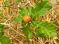 Hymenoptera - Biorhiza pallida - 1.jpg