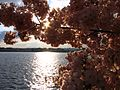 IMG 2398 - Washington DC - Tidal Basin - Cherry Blossoms.JPG