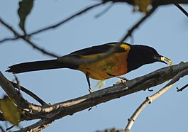 Icterus wagleri photo.jpg