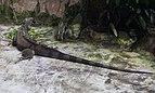 Iguana verde (Iguana iguana), Zoo de Ciudad Ho Chi Minh, Vietnam, 2013-08-14, DD 02.JPG