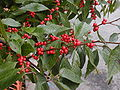 Ilex verticillata fruits and foliage 1.JPG