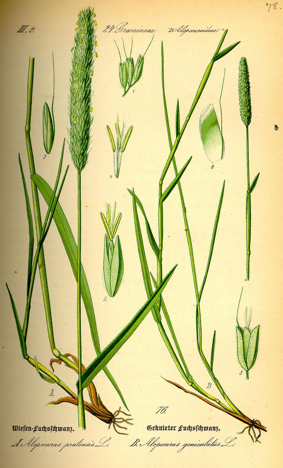 Alopecurus vikipedio for Ou acheter des galets decoratifs