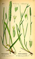 Psiarka lúčna (Alopecurus pratensis)