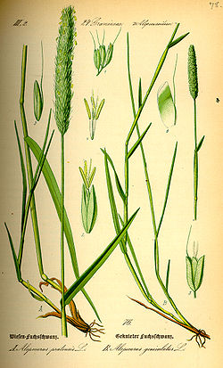 Illustration Alopecurus pratensis0.jpg