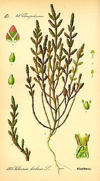 Illustration Salicornia europaea0
