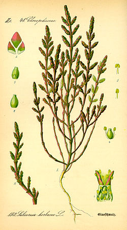 Illustration Salicornia europaea0.jpg