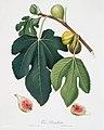 Illustration from Pomona Italiana Giorgio Gallesio by rawpixel00020.jpg