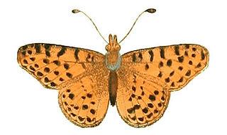 <i>Yramea cytheris</i> species of insect