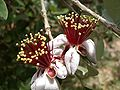 Image-Acca sellowiana flower 3.jpg