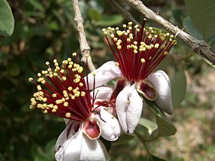 Image-Acca sellowiana flower 3.jpg