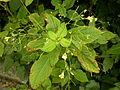 Impatiens parviflora (7914567980).jpg