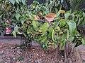 Indian tulip tree - Thespesia populnea 84.jpg
