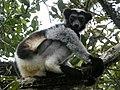 Indri indri by Frank Vassen.jpg