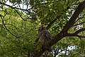Innis Woods - Barred Owl 3.jpg