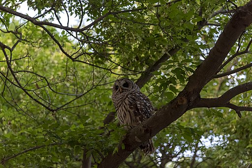 Innis Woods - Barred Owl 3