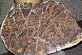 Inzeria intia (stromatolite) (Neoproterozoic, 800 Ma; Bitter Springs, Australia) 2 (28499466997).jpg