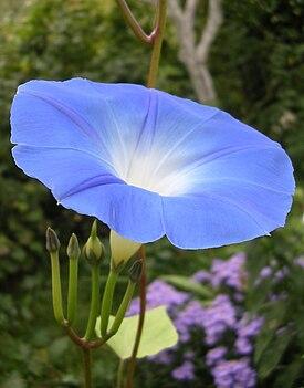 275px-Ipomoea_violacea_flower_2.jpg