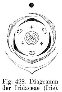 Kosaciec     Wikipedia  wolna encyklopedia