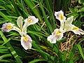 Iris Broadleigh hybrid - Flickr - peganum.jpg