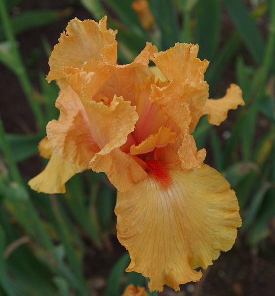 File iris flowers jardins de bagatelle 4 jpg wikimedia for Aubade jardin d iris