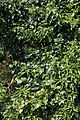 Ivy at the River Lee, Fishers Green, Lee Valley, Waltham Abbey, Essex, England 01.jpg