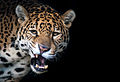 Jaguar (11280104846).jpg