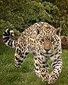 Jaguar (222406257).jpeg