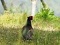 Japanese Green Pheasant キジ (255856221).jpeg